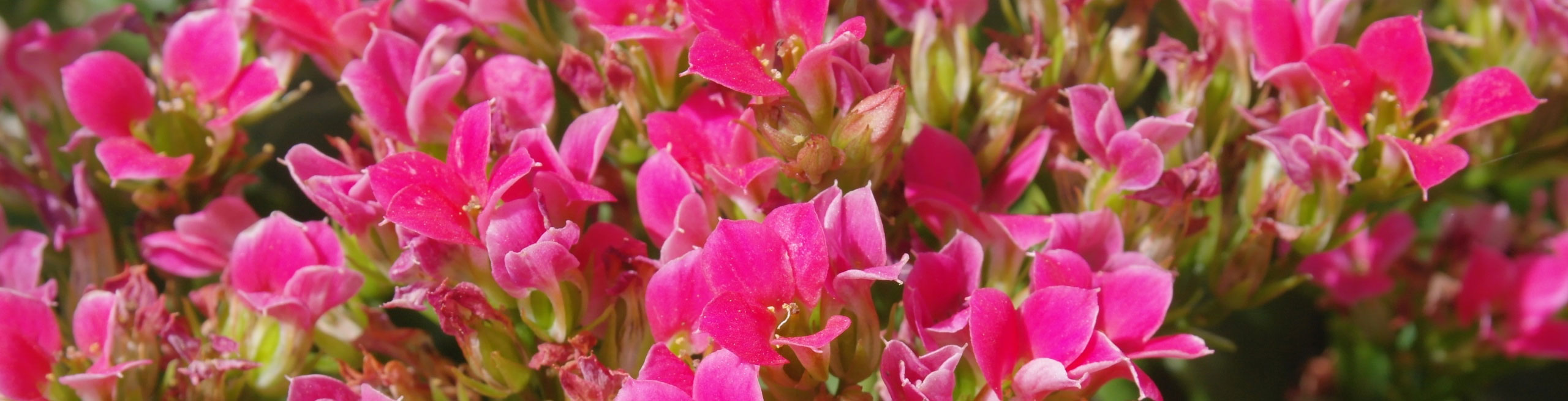 Kalanchoe-hot-pink-mini