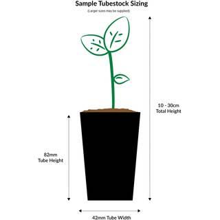 Camellia sasanqua Silver Dollar