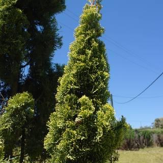 Cupressus sempervirens Swane's Golden