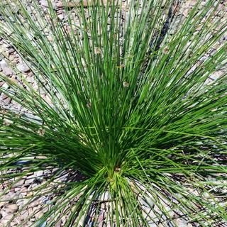 Ficinia nodosa (syn. Isolepis)