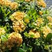 Ixora Gold Fire