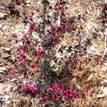 Leptospermum scoparium Nanum Rubrum