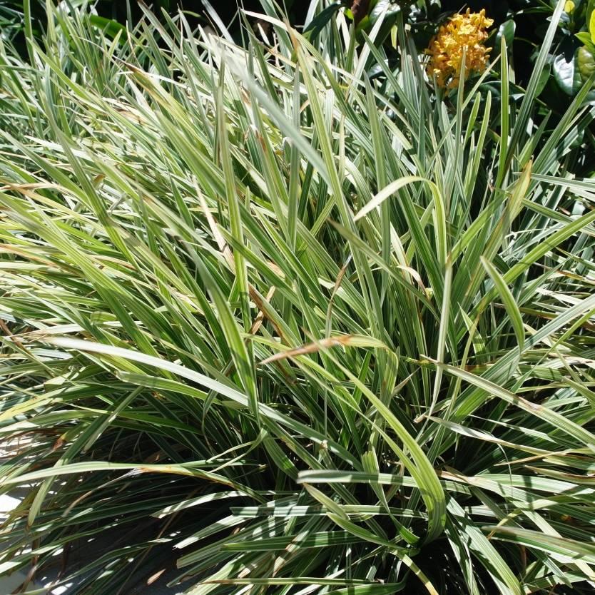Liriope Stripey White Divine Plants Online Shop