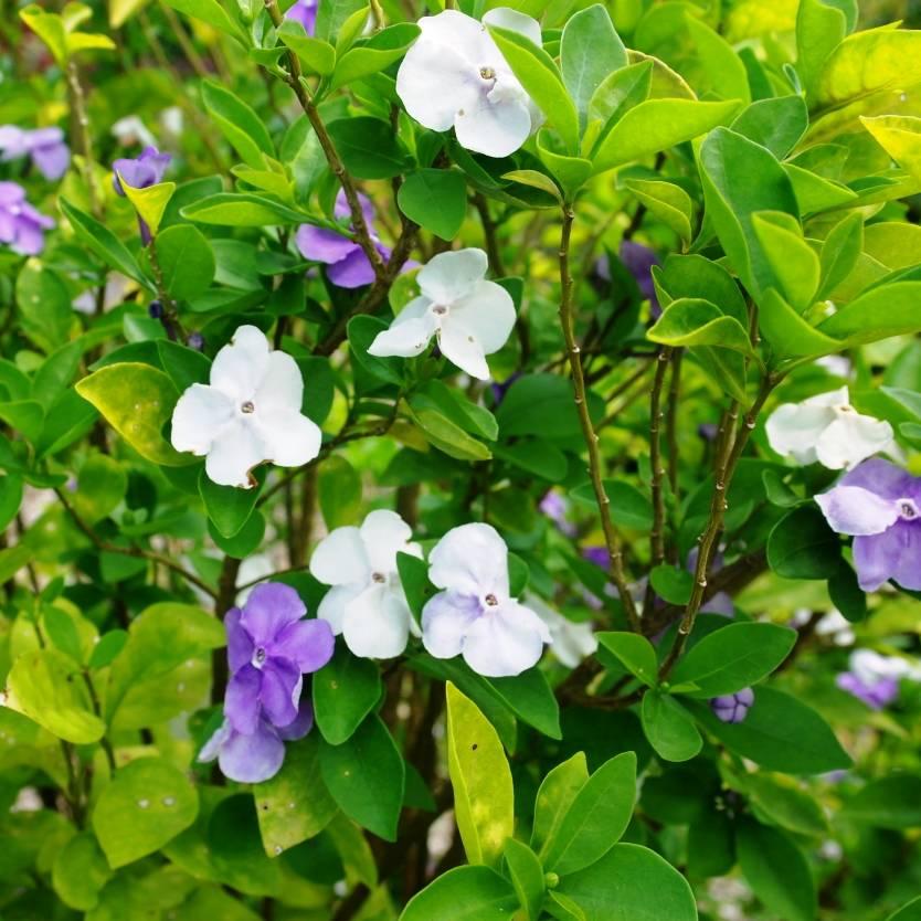 Brunfelsia australis Sweet & Petite