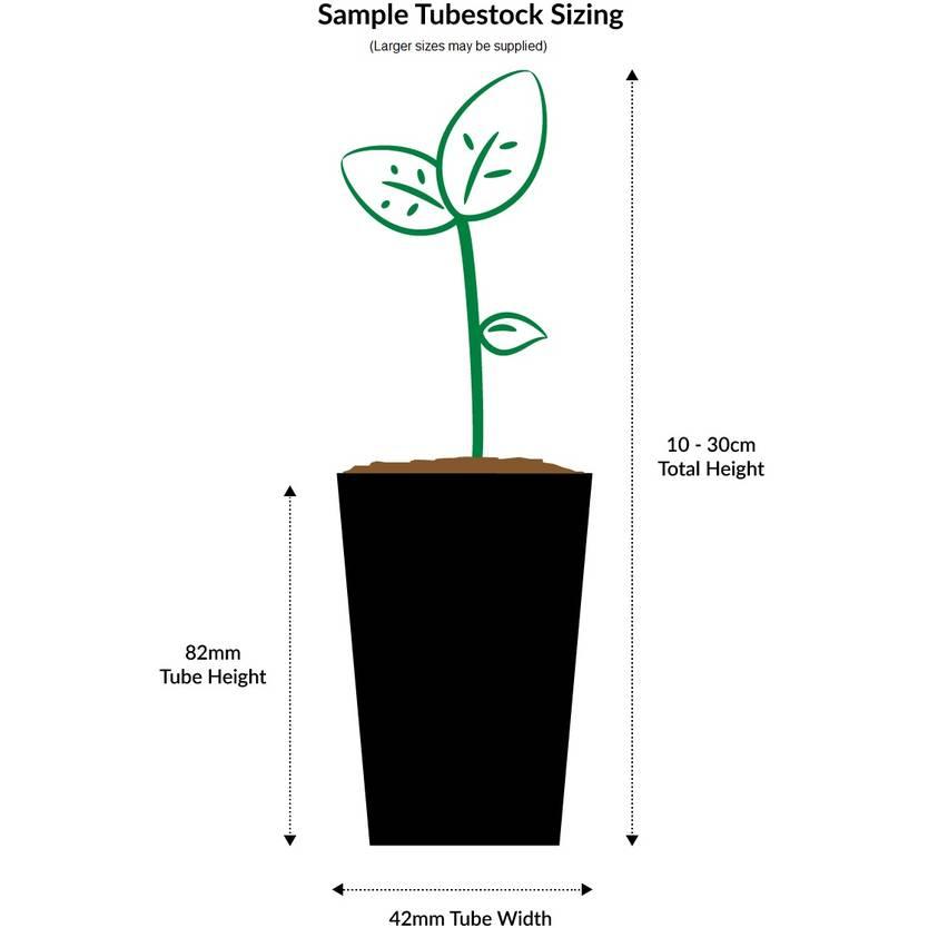 Melaleuca linariifolia Snowfire