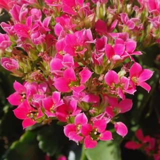 Kalanchoe pumila Hot Pink Mini