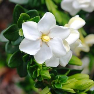 Gardenia augusta Grandiflora Star