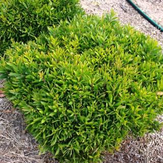 Melaleuca quinquinervia Mini Quini