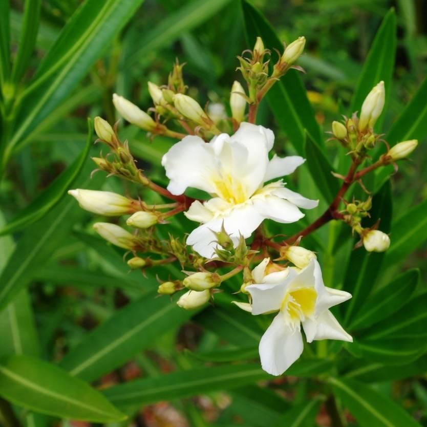Nerium oleander Luteum Plenum
