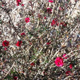 Leptospermum scoparium Burgundy Queen