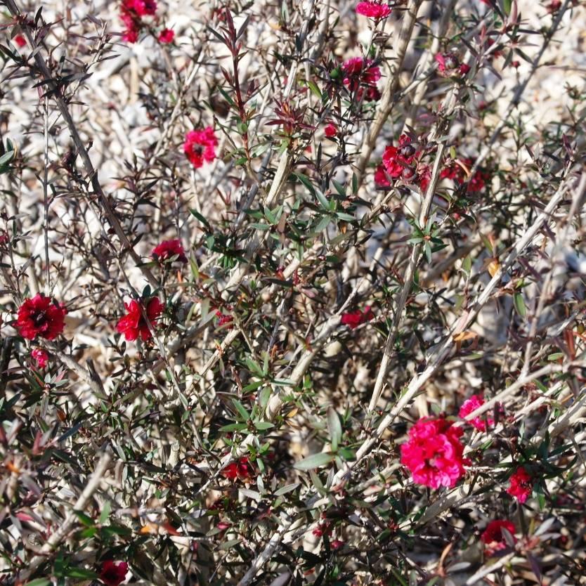 Leptospermum scoparium Burgundy Queen