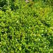 Syzygium australe Tiny Trev