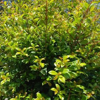 Syzygium australe Resilience
