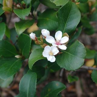 Rhaphiolepis Apple Blossom