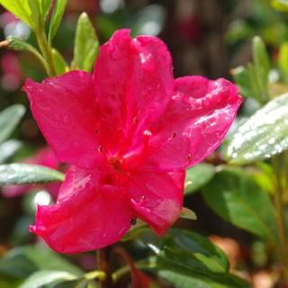 Azalea Red Glitter