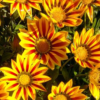 Gazania rigens Daybreak Red Stripe