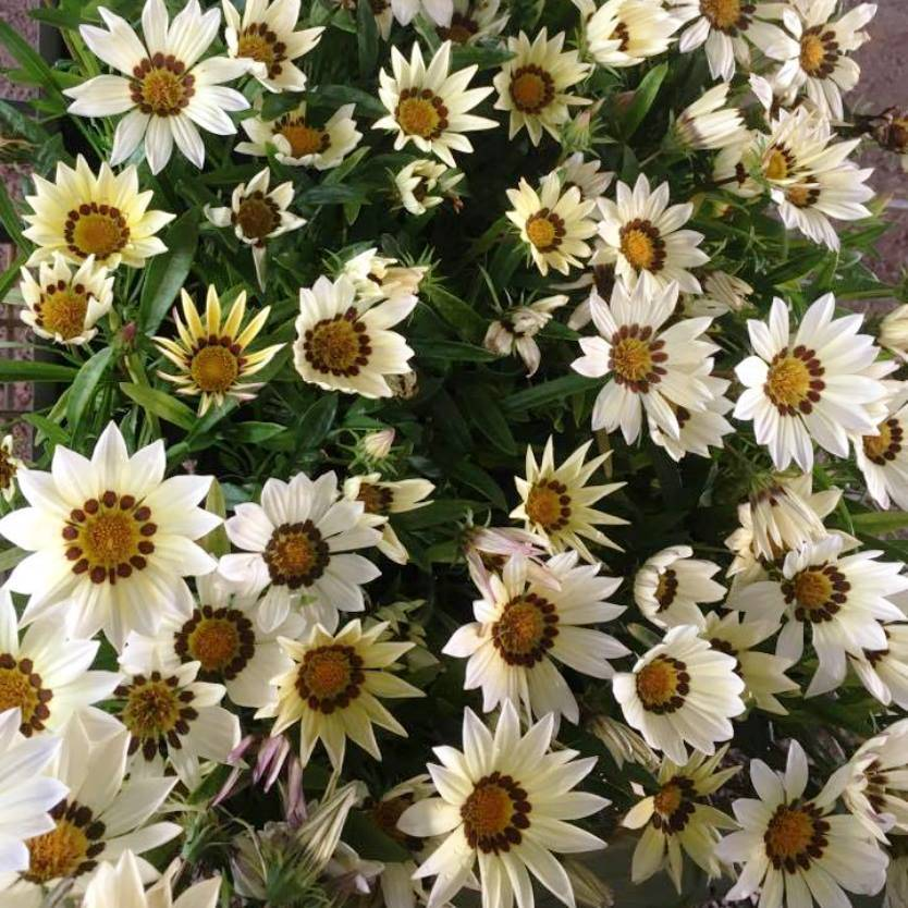 Gazania rigens New Day White