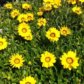Gazania rigens New Day Yellow