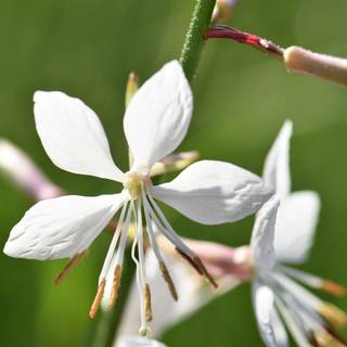 Gaura lindheimeri Sparkle White