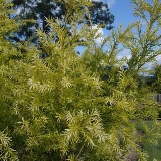 Melaleuca bracteata Revolution Gold