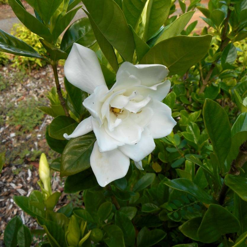 Gardenia augusta Golden Magic