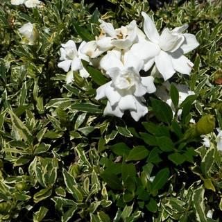 Gardenia augusta Radicans Variegated