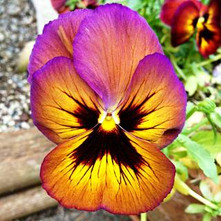 Pansy Swiss Giants Mix