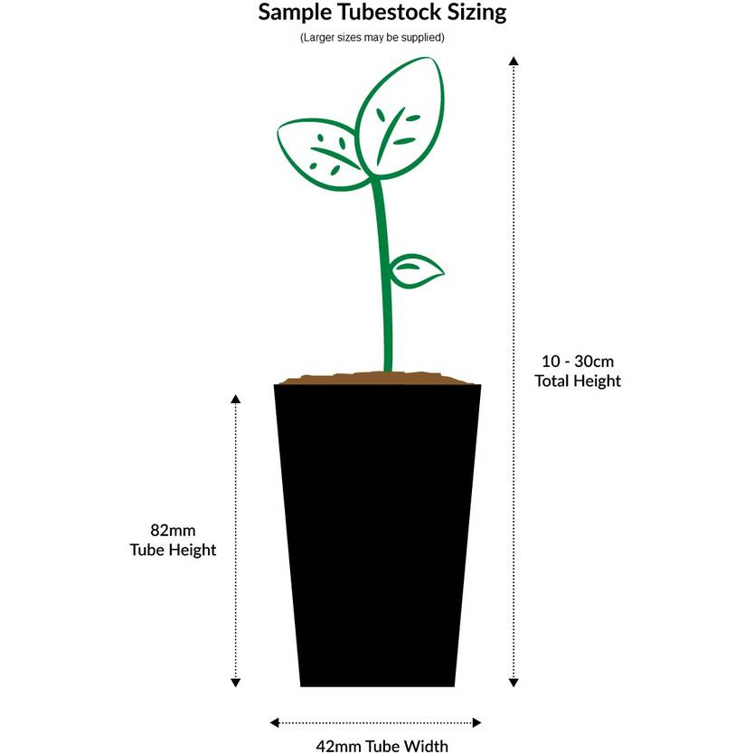 Tradescantia spathacea variegata (Rhoeo Variegated)
