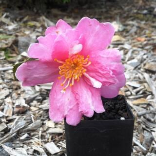 Camellia sasanqua Cherilyn