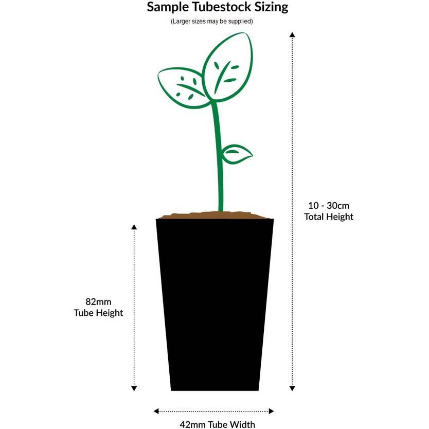Stenocarpus sinuatus
