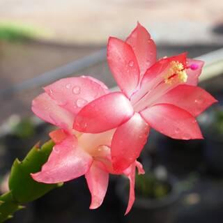 Schlumbergera truncata Zygocactus 'Rosebud'