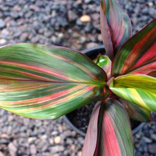 Cordyline Willy's Gold
