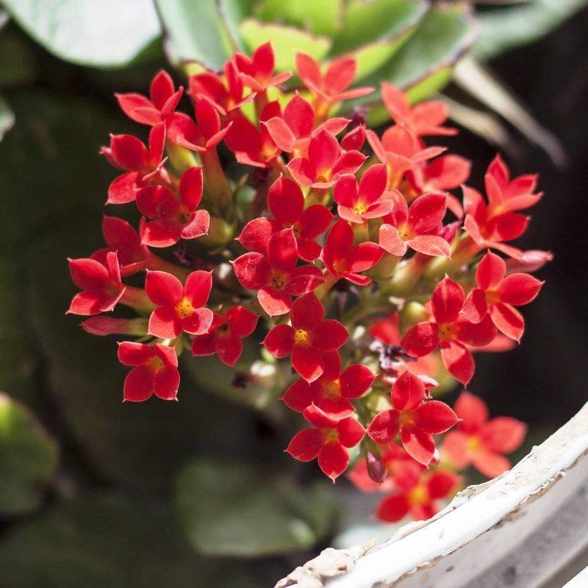 Kalanchoe blossfeldiana Red