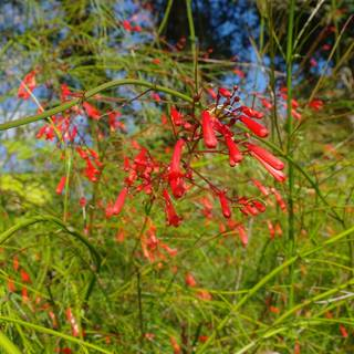 Russelia equisitiformis