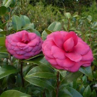 Camellia japonica Black Tie