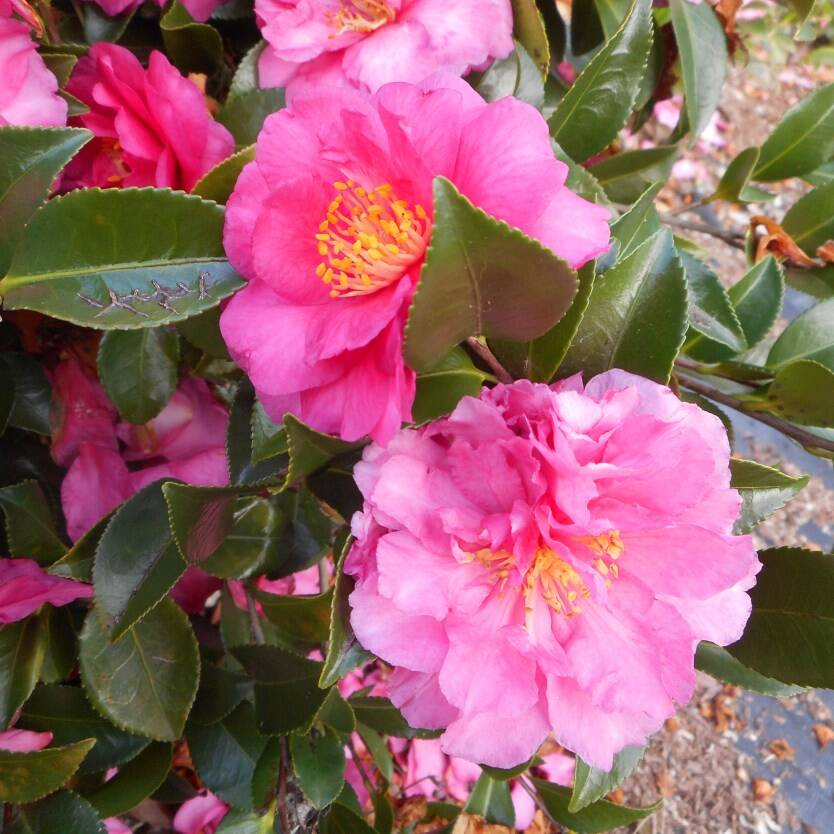 Camellia sasanqua Shishi Gashira