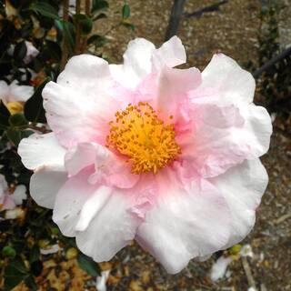 Camellia sasanqua Russhay