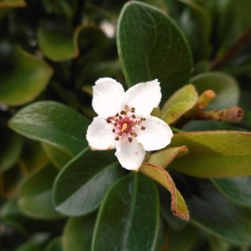 Rhaphiolepis indica Snow Maiden