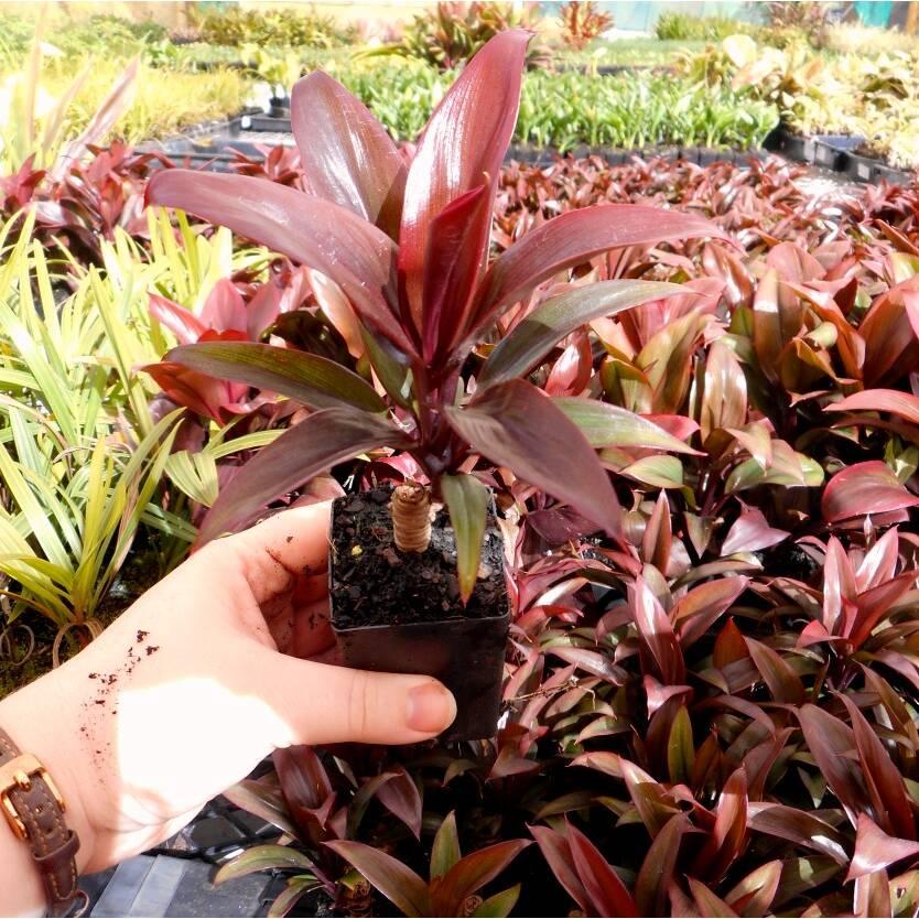 Cordyline fruticosa Purple Compacta