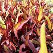 Codiaeum variegatum 'Spotlight'