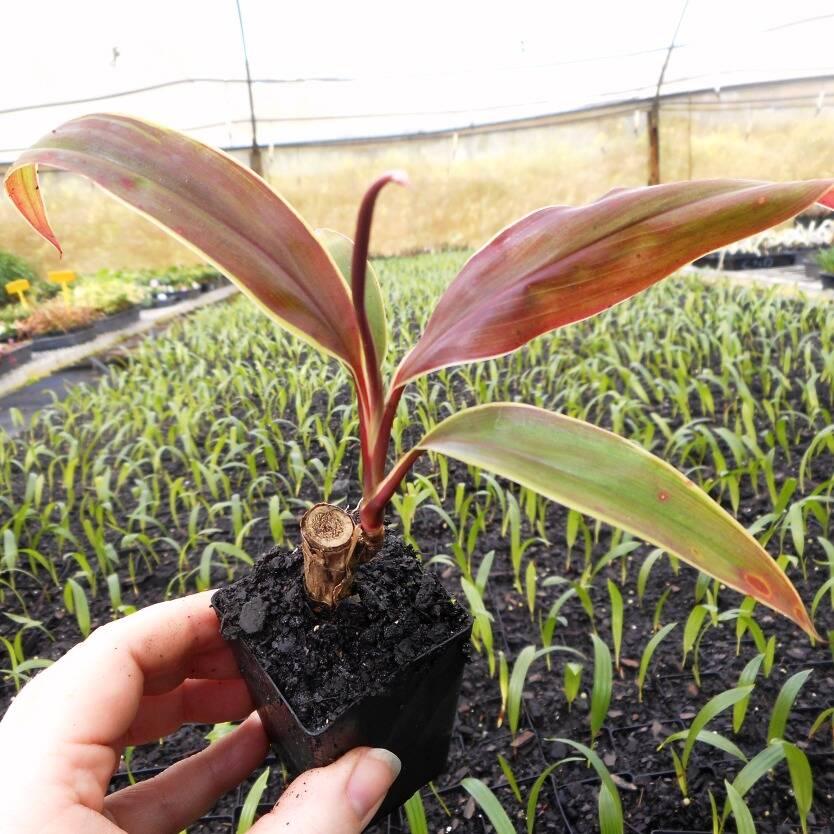 Cordyline fruticosa Tartan