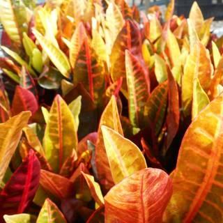 Codiaeum variegatum Aucubaefolia