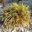 Codiaeum variegatum 'Assorted'