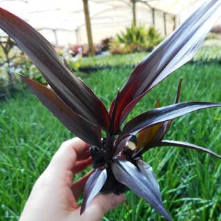 Cordyline fruticosa Karubra Black
