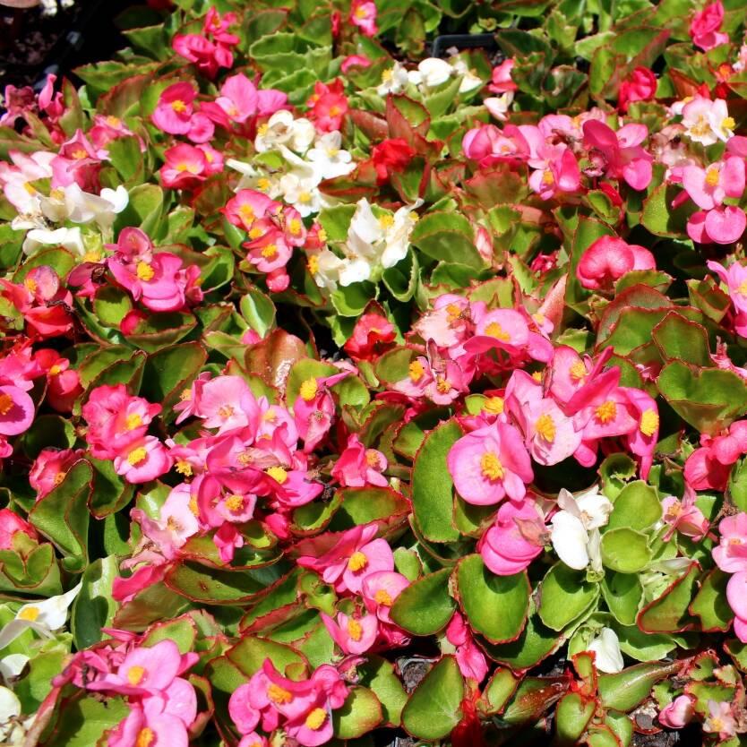 Begonia Ambassador