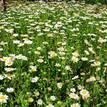 Chrysanthemum paludosum Snowland