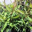Melaleuca leucadendra Broad Leaf