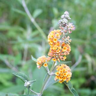 Buddleja Golden Glow