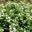 Scaevola aemula White Fanfare (Small leafed)