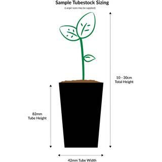 Scaevola aemula White Fanfare (Big leafed)